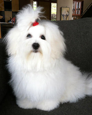 Grooming Your Coton North American Coton Association Ukc