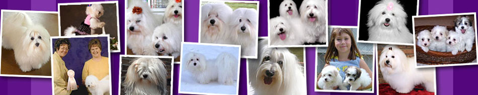 Cotton Blossom Cotons | North American Coton Association | UKC National Breed Club